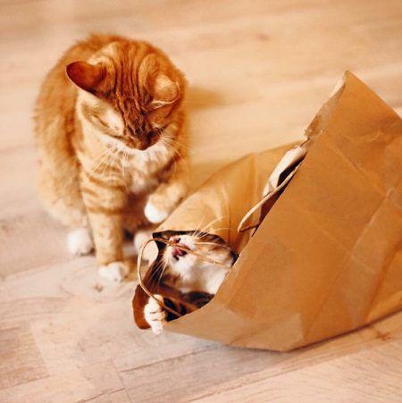 Saber si dos gatos están jugando o peleándose