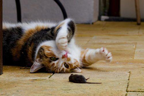 gato cazando a un ratón