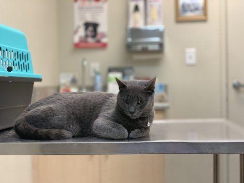 gato mesa veterinario