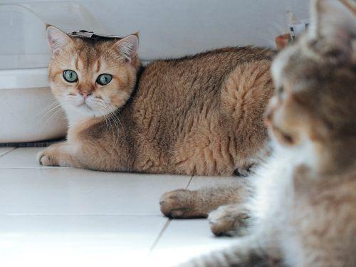 presentación de dos gatos