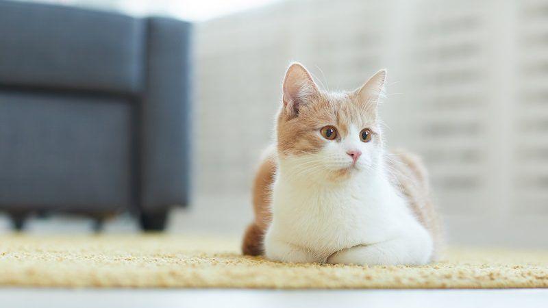 Razones por las que un gato es la mejor mascota