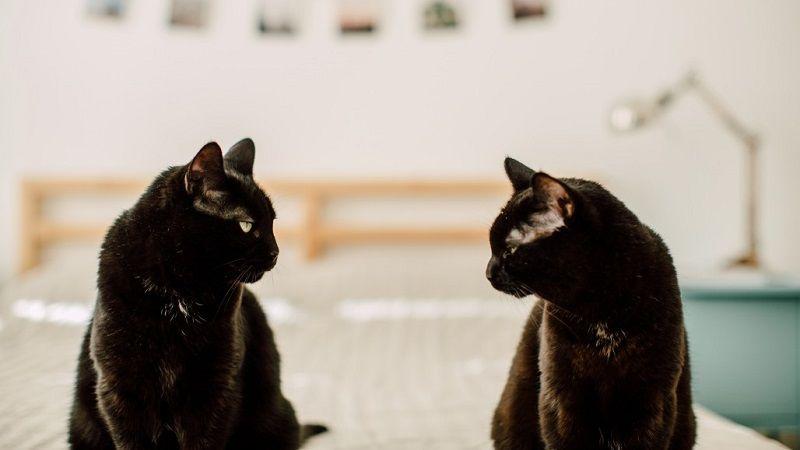 Cómo presentar a dos gatos paso a paso