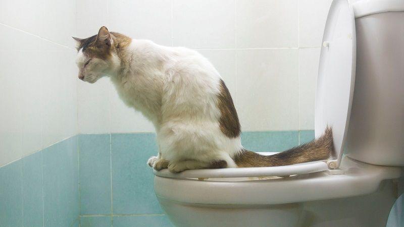 Enseñar al gato a usar el wc