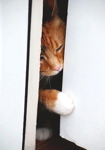 Gato empujando una puerta