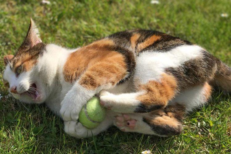 gato patadas de conejo