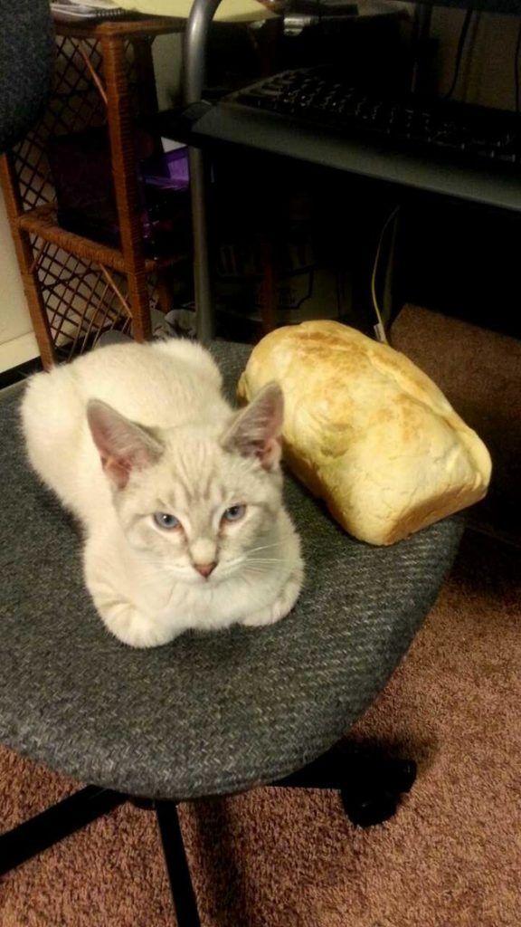 postura pan de gato